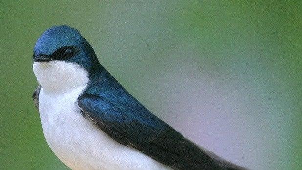 Naturaleza: Destruir nidos de golondrinas está penado entre 5.000 y 200.000 euros