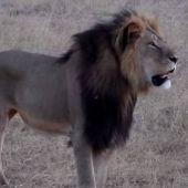 Cecil, el legendario león de Zimbabue