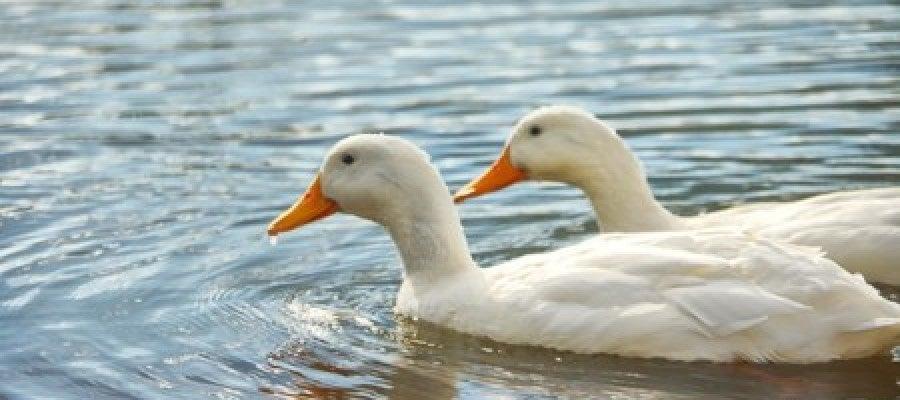 ¿Conoces el inconviente de echar de comer pan a los patos?