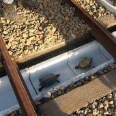 Construyen túneles para tortugas en las vías de trenes en Japón