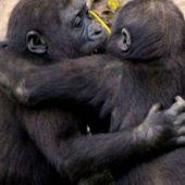 La amistad entre chimpancés