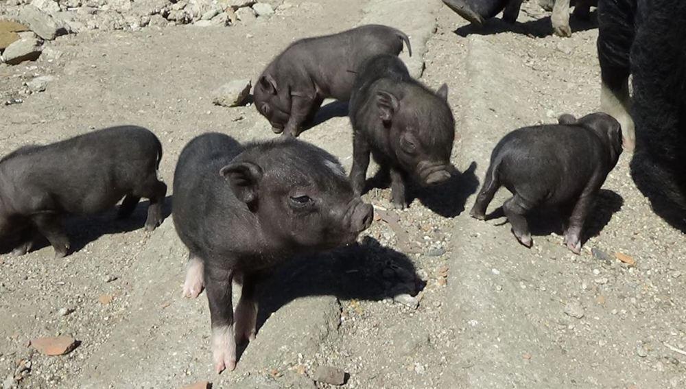 Cerdos vietnamitas abandonados en Paracuellos del Jarama