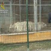 La Guardia Civil una red que exportaba cebras enfermas a Dubai