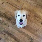 Wesley es un cachorro de Golden Retriever muy fotogénico