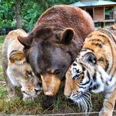 La amistad entre un oso, un tigre y un león