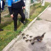 Familia de patos salvada por la Policía Municipal de Valladolid