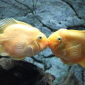 Pareja de peces