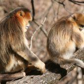 Monos tristes