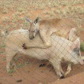 Cerda y canguro