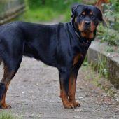 Imagen de archivo de un perro rottweiler