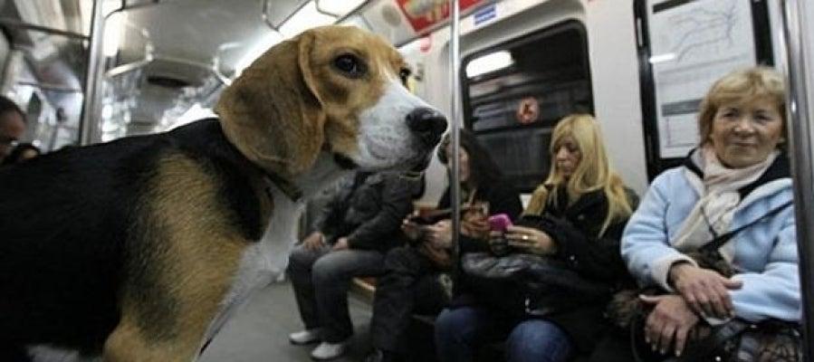Beagle en el metro