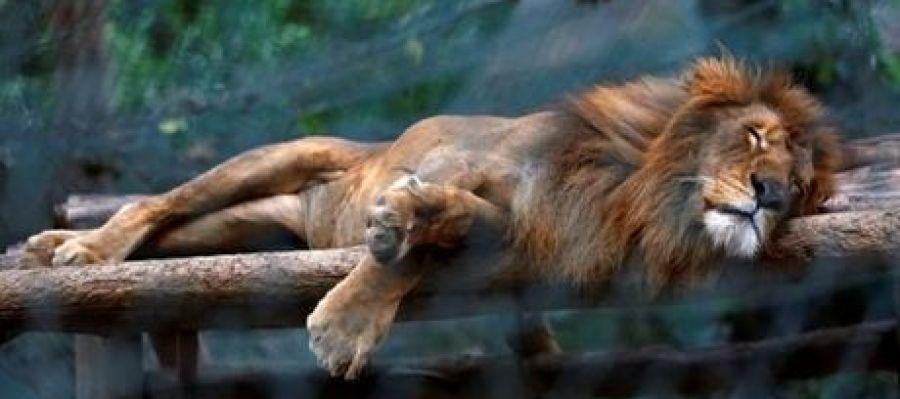 León en el zoológico Caricuao