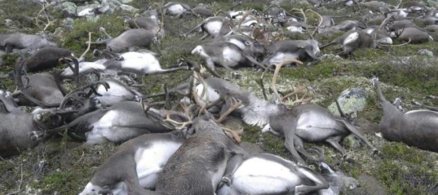 Renos muertos en Noruega