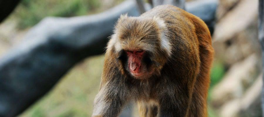 Un mono comiendo divertida tarta (13-09-2016)