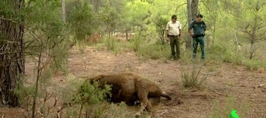 Frame 22.137833 de: La Guardia Civil encuentra una bola que podría contener veneno donde apareció degollado un bisonte