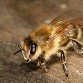Un grupo de investigadores consiguen que varias abejas aprendan a jugar al futbol
