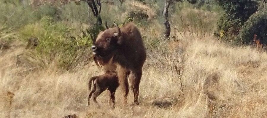 Nace el primer bisonte europeo en Extremadura después de 10.000 años