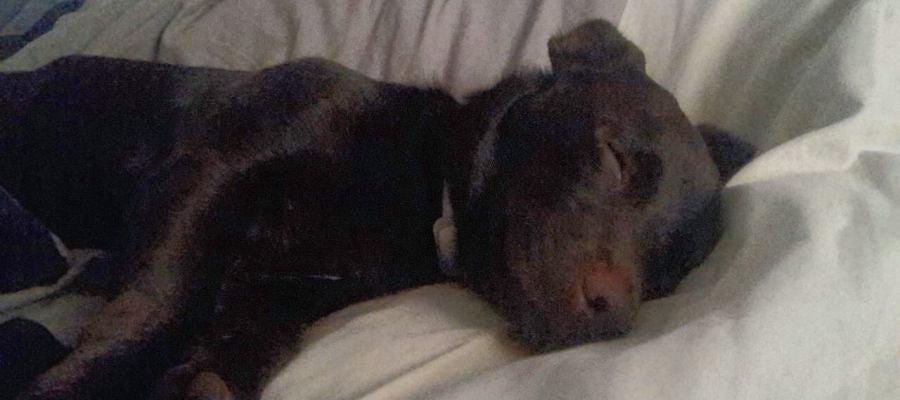 Una perra mestiza durmiendo