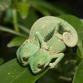 Cinco tiernas fotografías de crías de camaleón