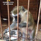 Uno de los monos localizado y recuperado por el SEPRONA.