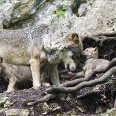 Un lobo con sus crías  - Imagen de archivo