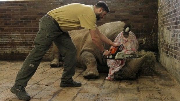 Polémica en la República Checa después de que un zoo decida cortar el cuerno a sus rinocerontes para protegerlos de los furtivos