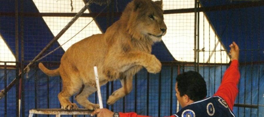 Un león en un circo