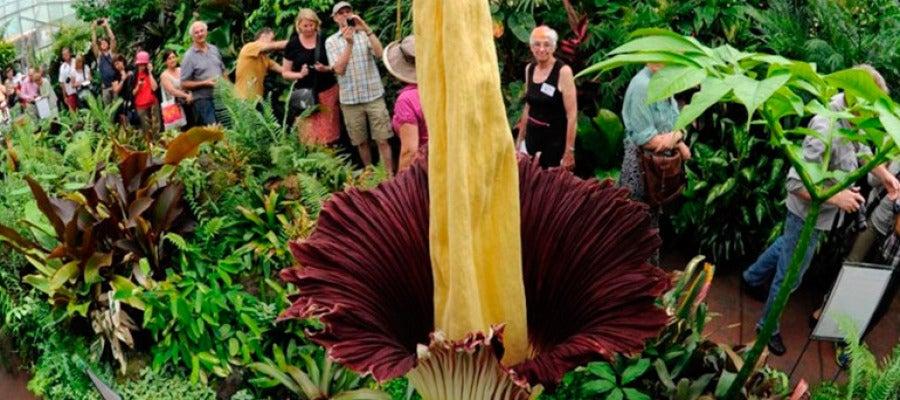 Ejemplar de la flor más grande del mundo en el jardín Botánico Jindai de Tokio