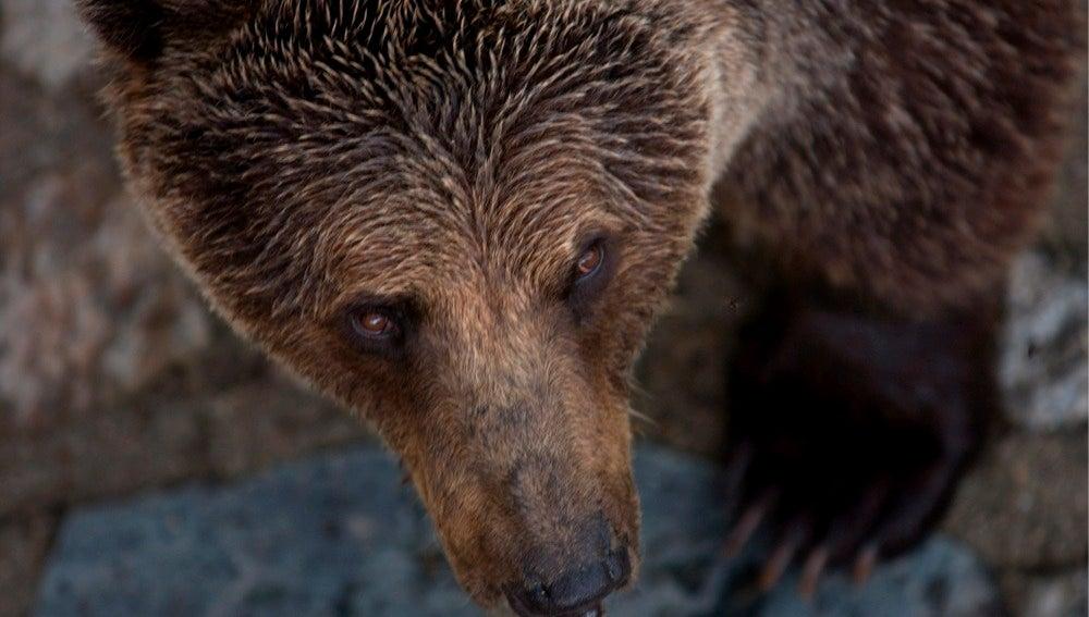 Un oso pardo