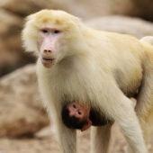 Monos babuinos en una imagen de archivo