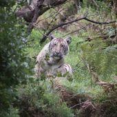 La primera fotografía de un tigre pálido