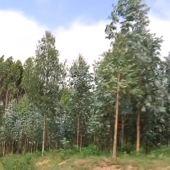 Imagen de eucaliptos