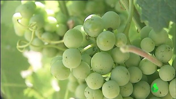 'La vendimia estima una recogida de 4 millones de kilos de uva'