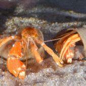 El cangrejo ermitano de ojos verdes que vive con las anemonas