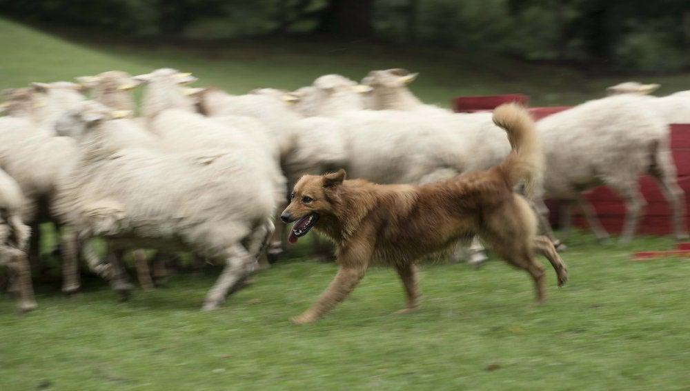 Kit guiando a un rebaño de 210 ovejas y cabras en Vizcaya