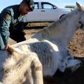 Hallan abandonados y desnutridos a siete caballos