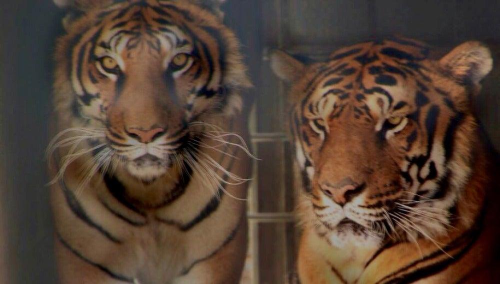 Tigres recuperados de Circo