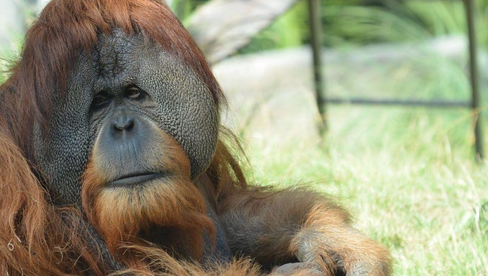 Foto de archivo del orangután de Borneo