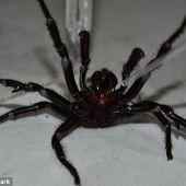 Colossus, la araña más venenosa del mundo