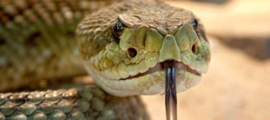Un peptido del veneno de serpiente de cascabel muerde a las superbacterias