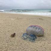 Un ejemplar de la medusa Caravela Portuguesa en las playas de Formentera