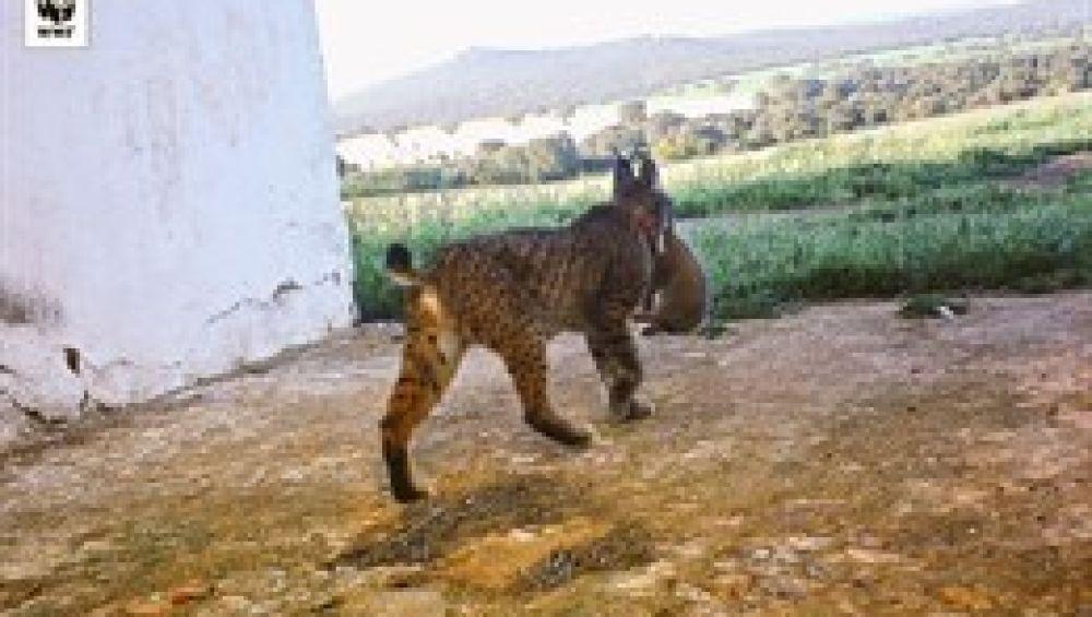 Primera camada salvaje de lince ibérico nacida en CLM