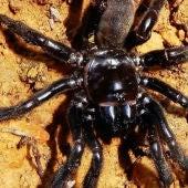 Muere la araña más vieja del mundo