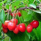 Las cerezas están ya listas para ser recogidas