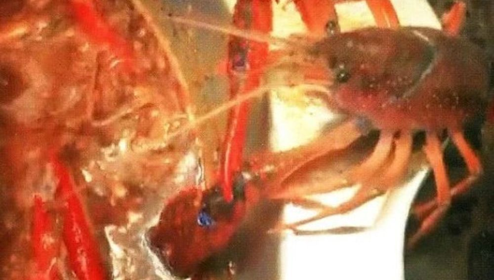 Un cangrejo de mar intenta arrancarse la pinza