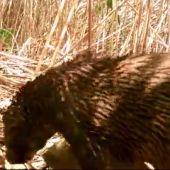 Documentan una nutria por primera vez en el Pantano de Elche