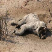 Elefante muerto sin colmillos encontrado en Botsuana