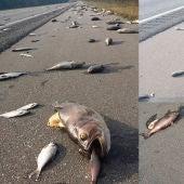 Peces muertos en las carreteras de Carolina del Norte y Carolina del Sur