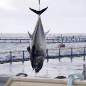 Pesca de atún rojo.