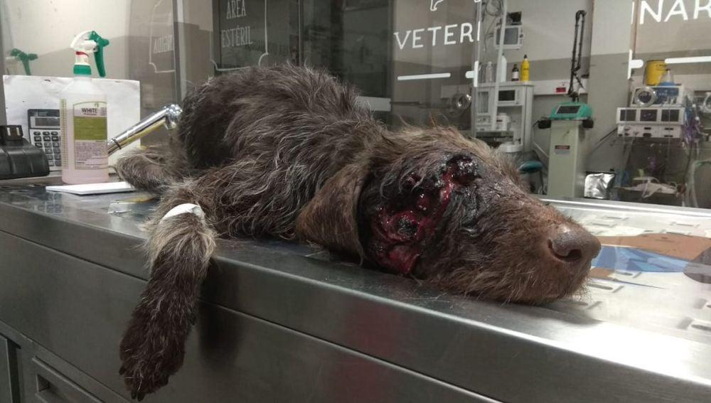El perro herido tras recibir un disparo en la cara